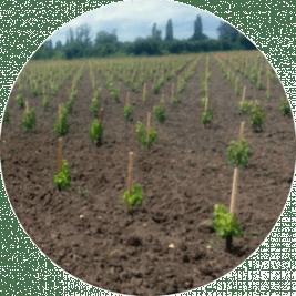 Vigne-mere-greffons-plantee-en-2017